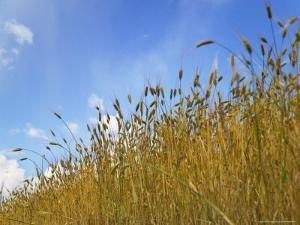 Barley against Blue Sky, East Himalayas, Tibet, China by Keren Su