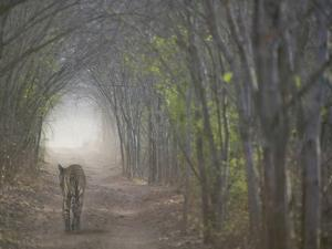 Bengal Tiger in the Forest, Ranthambore National Park, Rajasthan, India by Keren Su