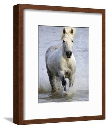 Camargue Horse Running in Water