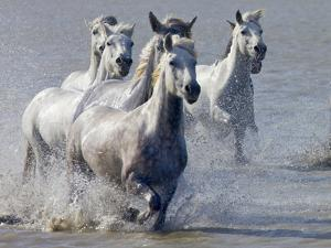 Camargue Horses, France by Keren Su