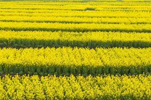 Canola flower fields, Xinghua, Jiangsu Province, China by Keren Su