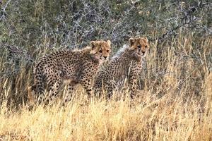 Cheetah cubs, Kgalagadi Transfrontier Park, South Africa by Keren Su