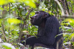 Chimpanzee eating wild jackfruit, Kibale National Park, Uganda by Keren Su