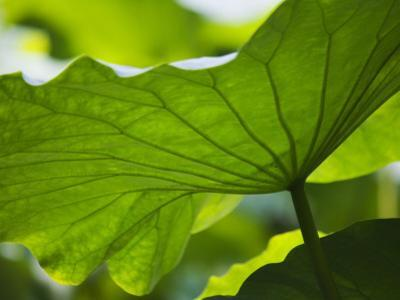 China, Sichuan Province, Lotus Leaves in the Pond by Keren Su
