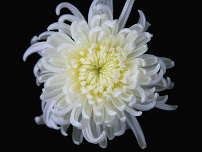 China, White Chrysanthemum