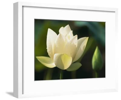 China, Zhejiang Province, Hangzhou, Lotus Flower