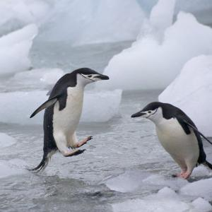 Chinstrap Penguins on ice, South Orkney Islands, Antarctica by Keren Su