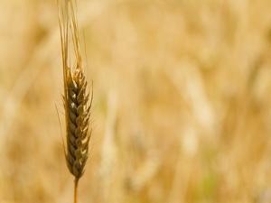 Closeup of Barley, East Himalayas, Tibet, China by Keren Su