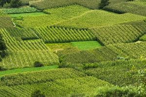 Corn field, Zhonglu Village, Danba County, Garze Tibetan Autonomous Prefecture, Sichuan, China by Keren Su