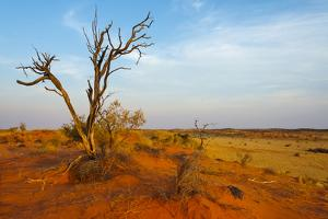 Dead tree on red sand desert, Kgalagadi Transfrontier Park, South Africa by Keren Su
