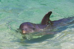 Dolphin in the Ocean, Roatan Island, Honduras by Keren Su