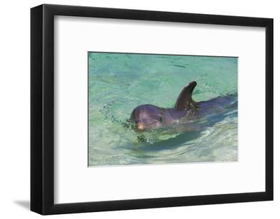 Dolphin in the Ocean, Roatan Island, Honduras