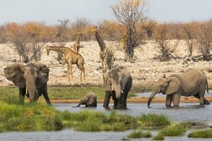 Elephant herd in Etosha National Park. Oshikoto Region, Namibia. by Keren Su