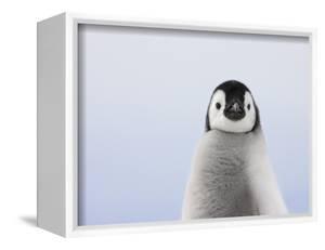 Emperor Penguin Chick by Keren Su