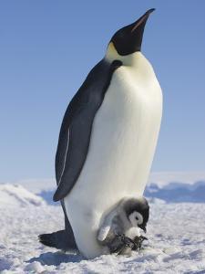 Emperor Penguin Holding Chick on Feet by Keren Su