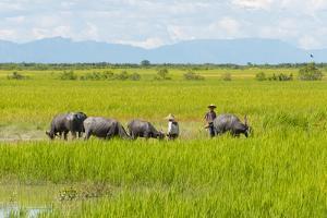 Farmer Herding Water Buffalo by the Kaladan River, Rakhine, Myanmar by Keren Su
