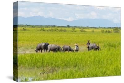 Farmer Herding Water Buffalo by the Kaladan River, Rakhine, Myanmar
