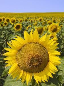 Field of Sunflowers by Keren Su