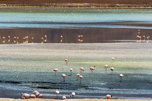 Flamingos in Laguna Hedionda, Potosi Department, Bolivia. by Keren Su