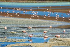 Flamingos in Laguna Hedionda, Potosi Department, Bolivia by Keren Su