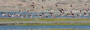 Flamingos, Luderitz Bay, Karas Region, Namibia by Keren Su
