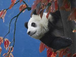 Giant Panda Climbing Tree by Keren Su