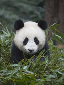 Giant panda cub in forest by Keren Su