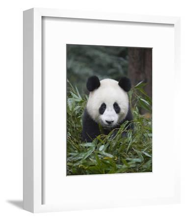 Giant panda cub in forest