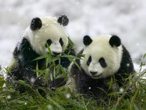 Giant Panda Cubs in Snowfall by Keren Su