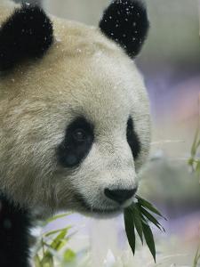 Giant Panda Eating Bamboo Leaves by Keren Su