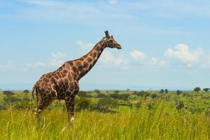 Giraffe on the savanna, Murchison Falls National park, Uganda by Keren Su
