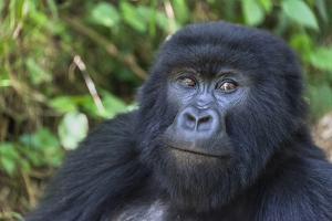 Gorilla in the forest, Parc National des Volcans, Rwanda by Keren Su
