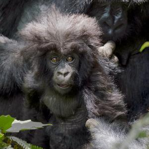 Gorilla mother with 6-month-old baby in the forest, Parc National des Volcans, Rwanda by Keren Su