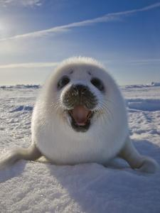 Harp Seal Pup on Ice, Iles De La Madeleine, Canada, Quebec by Keren Su
