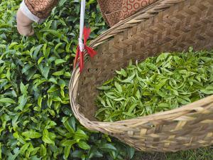 Harvesting Tieguanyin Tea Leaves at a Tea Plantation, Fujian, China by Keren Su