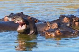 Hippos in the river, Mkhaya Game Reserve, Swaziland by Keren Su