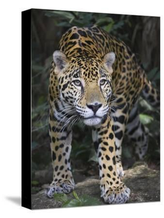 Jaguar in forest in Belize