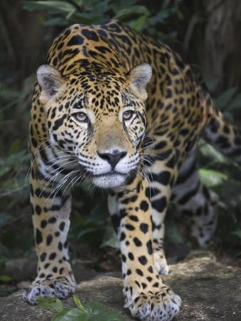 Jaguar in forest in Belize