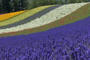 Lavender Farm, Furano, Hokkaido Prefecture, Japan by Keren Su