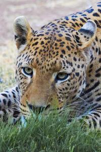 Leopard, Okonjima Nature Reserve. Otjozondjupa Region, Namibia. by Keren Su