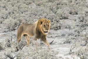 Lion in Etosha National Park. Oshikoto Region, Namibia. by Keren Su