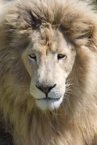 Lion. Western Cape Province, South Africa by Keren Su