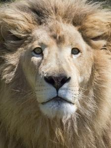 Lion. Western Cape Province, South Africa. by Keren Su