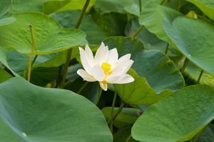 Lotus flower, China by Keren Su