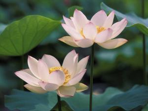 Lotus Flower in Blossom, China by Keren Su