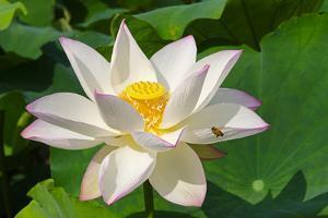 Lotus flower, Kyoto, Japan by Keren Su