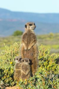 Meerkat family. Western Cape Province, South Africa. by Keren Su