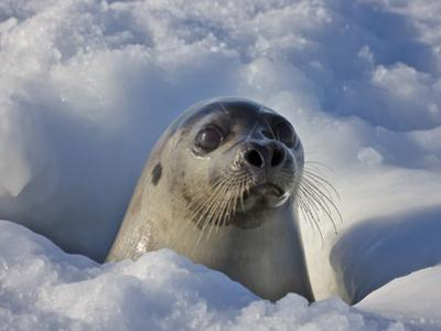 Mother Harp Seal Raising Head Out of Hole in Ice, Iles De La Madeleine, Quebec, Canada