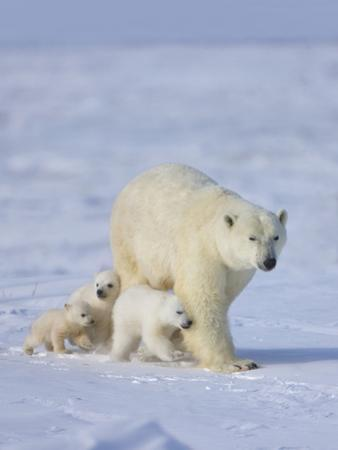 Mother Polar Bear with Three Cubs on the Tundra, Wapusk National Park, Manitoba, Canada