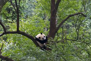 Panda on tree, Panda Reserve, Ya'an, Sichuan, China by Keren Su
